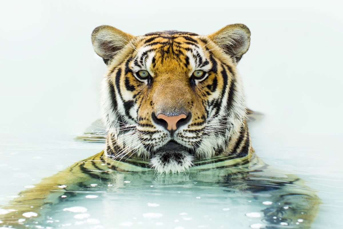 Shawn Talbot Kelowna Commercial Photographer Thailand Tiger