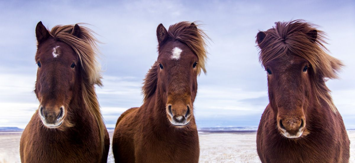 Shawn Talbot Kelowna Commercial Photographer Icelandic Horses