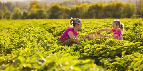 Shawn Talbot Kelowna Commercial Photographer tourism kelowna picking strawberries