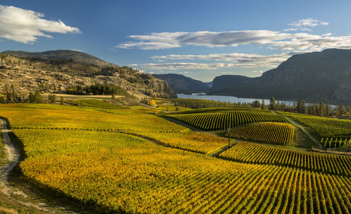 Aerial Shawn Talbot Photography Okanagan Vineyard